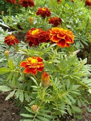 Bársonyvirág (<span>Tagetes sp.</span>)