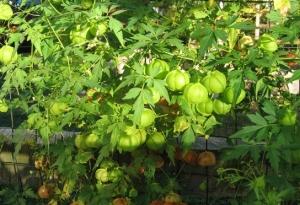 Szívmag (<span>Cardiospermum halicacabum</span>)