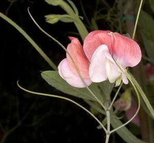 Szagos lednek (<span>Lathyrus odoratus</span>)