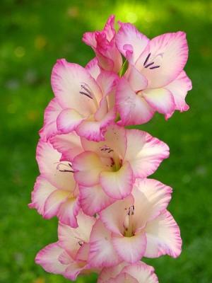 Kardvirág (<span>Gladiolus  sp.</span>)