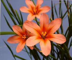 Homérosz-virág (<span>Homeria collina</span> 'lutea')