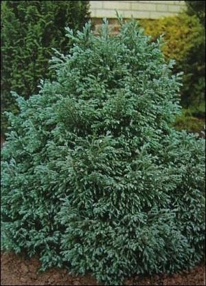 Szavára hamisciprus (<span>Chamaecyparis pisifera</span> 'Bouleward')