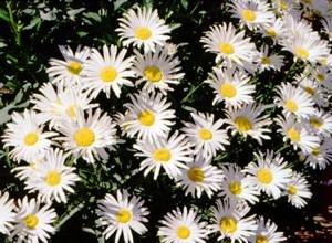 Törpe margitvirág (<span>Chrysanthemum maximum</span> 'Silver Princess')