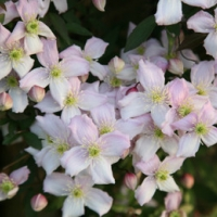 Hegyi iszalag (Clematis montana 'Rubens')
