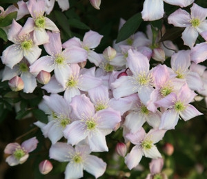 Hegyi iszalag (<span>Clematis montana</span> 'Rubens')