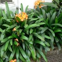 Kafferliliom, klívia (Clivia miniata)