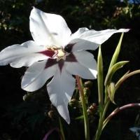 Abesszin kardvirág (Acidanthera bicolor 'murielae')