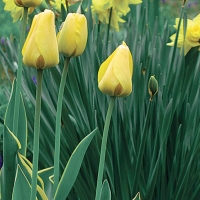 Tulipán (Tulipa sp.)