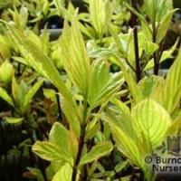 Fehértarka levelű som  (Cornus alba 'Gouchaultii')
