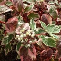 Fehértarka levelű som  (Cornus alba 'Sibirica Variegata')