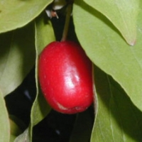 Óriástermésű som (Cornus mas 'Jolico')