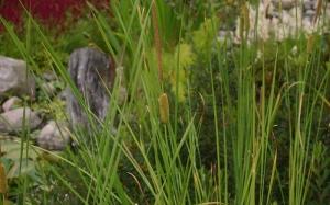 Apró gyékény (<span>Typha minima</span>)