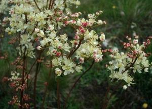 Koloncos legyezőfű (<span>Filipendula vulgaris</span>)