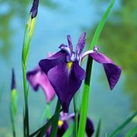 Vízparti nőszirom (Iris kaempferi)