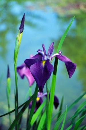 Vízparti nőszirom (<span>Iris kaempferi</span>)