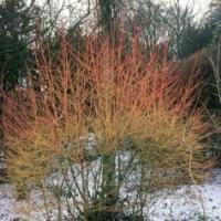 Veresgyűrű som (Cornus sanguinea 'Winter Beauty')
