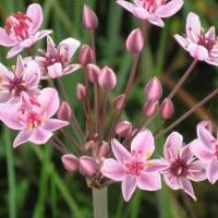 Virágkáka (Butomus umbellatus)