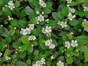 Szőnyegmadárbirs (<span>Cotoneaster dammeri var. radicans</span>)