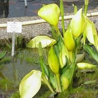 Lápbuzogány (Lysichiton sp.)