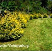 Leyland ciprus (Cupressocyparis leylandii 'Robinson Gold')
