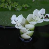Kétsoros vízifüzér (Aponogeton distachyus)