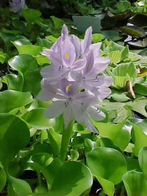 Lilás vízijácint (<span>Eichhornia crassipes</span>)