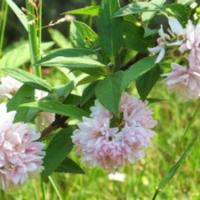 Gyöngyvirágcserje (Deutzia hybrida 'Pink Pom-pom')