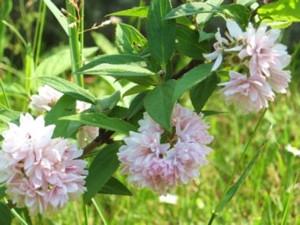 Gyöngyvirágcserje (<span>Deutzia hybrida</span> 'Pink Pom-pom')
