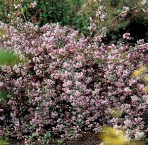 Gyöngyvirágcserje (<span>Deutzia kalmiflora</span>)