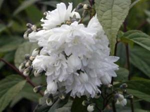Gyöngyvirágcserje (<span>Deutzia scabra</span> 'Candidissima')