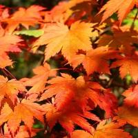 Vörösvirágú juhar (Acer japonicum)