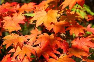 Vörösvirágú juhar (<span>Acer japonicum</span>)