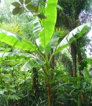 Banánfa (<span>Musa sp.</span>)