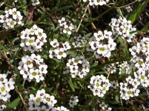 Illatos ternye (<span>Lobularia maritima</span>)