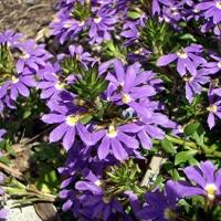 Legyezővirág (Scaevola sp.)