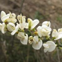 Zanót (Cytisus albus)