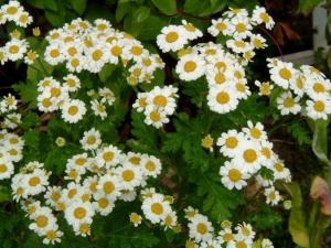 Őszi margitvirág (<span>Chrysanthemum parthenium</span>)