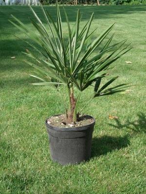 Kenderpálma (<span>Trachycarpus sp</span>)