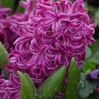 Jácint (Hyacinthus sp.)
