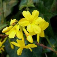 Téli jázmin (Jasmium nudiflorum)