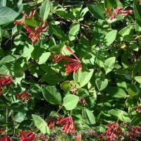 Jerikói lonc (Lonicera caprifolium)