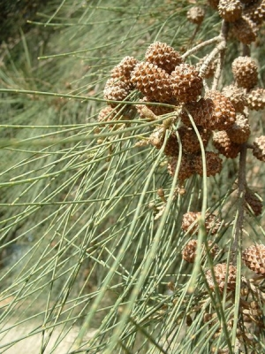 Kazuárfa (<span>Casuarina sp.</span>)