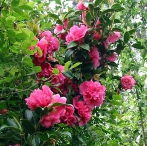Teacserje (<span>Camellia sp.</span>)