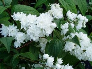 Teltvirágú gyöngyvirágcserje (<span>Deutzia x magnifica</span>)