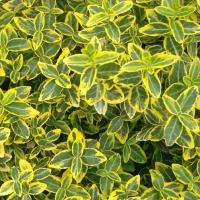 Kúszó kecskerágó (Euonymus fortunei 'Emerald 'n Gold')