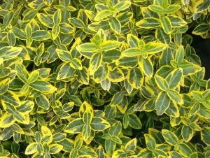 Kúszó kecskerágó (<span>Euonymus fortunei</span> 'Emerald 'n Gold')