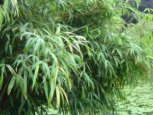 Szökőkút bambusz (<span>Fargesia nitida</span>)