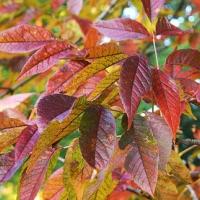 Fehér kőris (Fraxinus americana 'Autumn Purple')