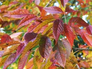 Fehér kőris (<span>Fraxinus americana</span> 'Autumn Purple')