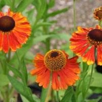 Napfényvirág hibridek (Helenium sp.)